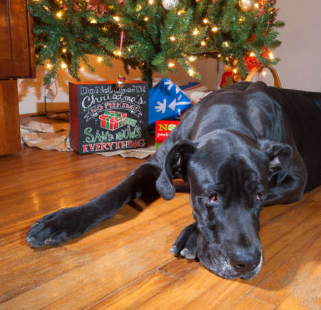 dane: Black Great Dane laying next to the Christmas tree that looks very tired