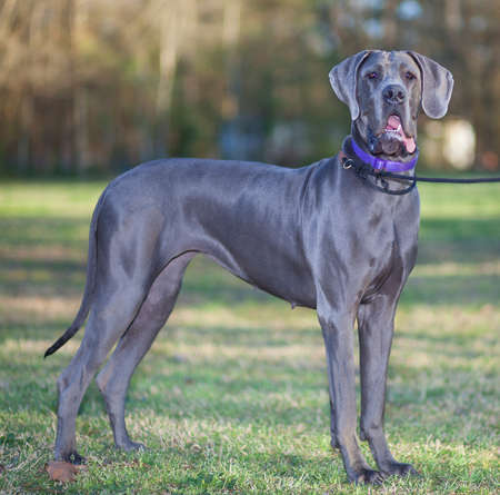dane: Large grey purebred Great Dane on a grassy field