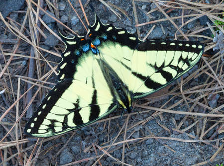 feelers: Bright yellow butterfly on some sand and rocks covered in pine needles