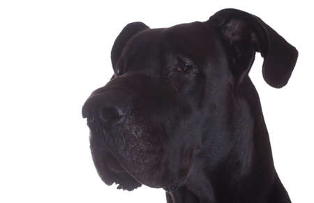side head: Side head shot of a purebred black Great Dane isolated on white