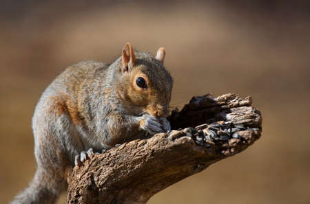semillas de girasol: Tree squirrel that is furiously eating some sunflower seeds Foto de archivo