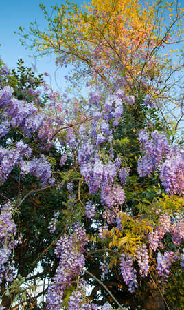 climbed: Wisteria in bloom that has climbed up two trees Stock Photo
