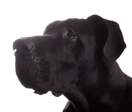 dane: Purebred black Great Dane that looks like it has been caught doing something bad