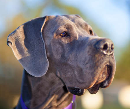 great dane: Grey Great Dane just as the sun is starting to set