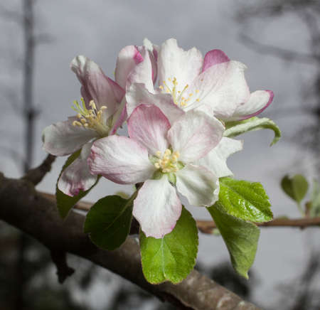 granny smith: Blossom on a branch of a granny smith apple tree in spring