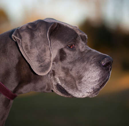 dane: Purebred Great Dane so old it has gray hair Stock Photo