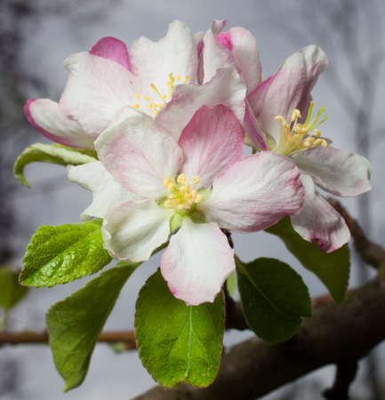 granny smith: Flowers in the spring on a granny smith apple tree Stock Photo