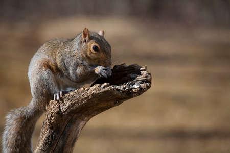 semillas de girasol: La ardilla de árbol en una rama muerta de comer semillas de girasol Foto de archivo