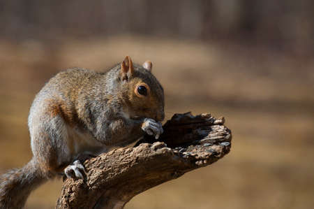 Tree squirrel gorging itself on sunflower seeds left out for the birds