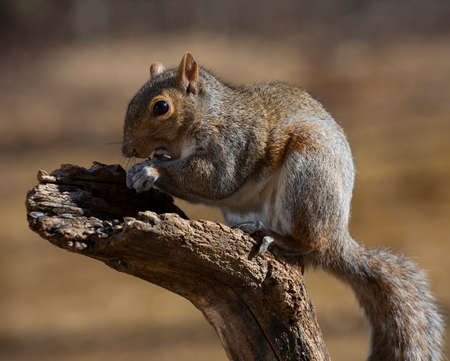 cramming: Tree squirrel cramming a lot of sunflower seeds in its mouth Stock Photo