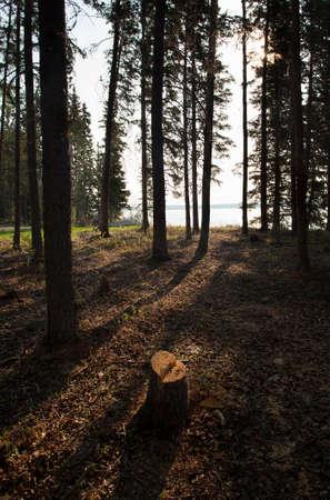 saskatchewan: Sunlight just coming through the trees in Saskatchewan Canada