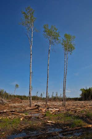 saskatchewan: Four poplar trees that were not cut in logging in Saskatchewan Canada Stock Photo