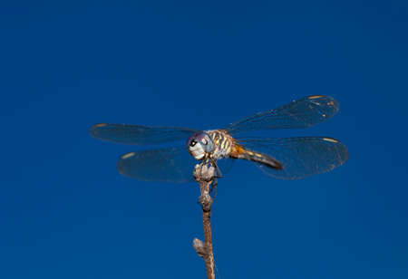 feelers: Dragonfly with big blue eyes sitting on a stick with sky behind