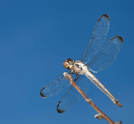 feelers: Dragonfly on a stick with sky behind seen from below Stock Photo