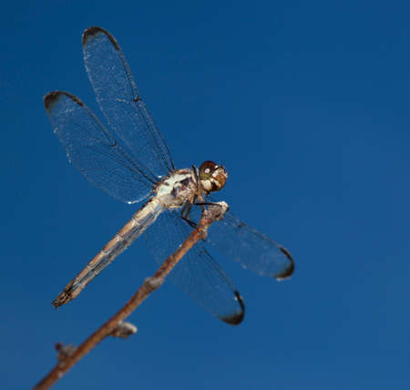 feelers: Dragonfly on a stick with a dusk sky behind Stock Photo
