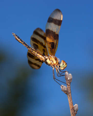 feelers: Orange dragonfly that is carrying eggs resting on a stick