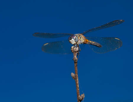 antenna dragonfly: Blue eyed dragonfly waiting patiently for a bug to eat