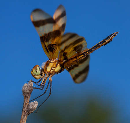 antenna dragonfly: Green and brown eyed dragonfly carrying eggs and sitting on a stick Stock Photo