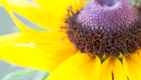 grey eyed: Very close look at the interior of a black eyed Susan flower Stock Photo