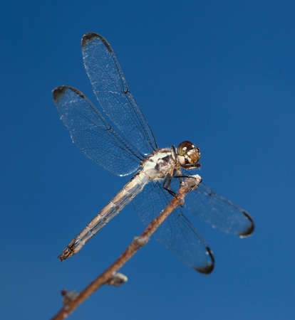 feelers: Dragonfly on a stick seen from slightly below