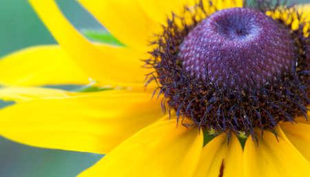 susan: Macro view of a black eyed Susan flower in full bloom