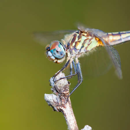 feelers: Dragonfly with blue eyes on a stick with a green background