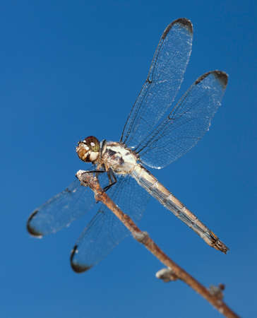 feelers: Dragonfly on a stick with its wings spread and sky behind Stock Photo
