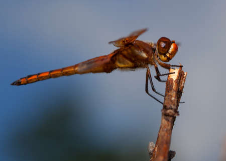 feelers: Dragonfly with orange and brown color waiting on a stick