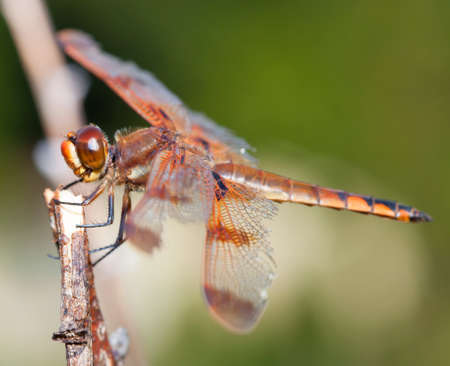 antenna dragonfly: Dragonfly with orange and brown eyes waiting on a stick