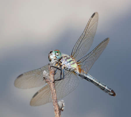 feelers: Dragonfly waiting on a stick for a snack sized bug to fly by