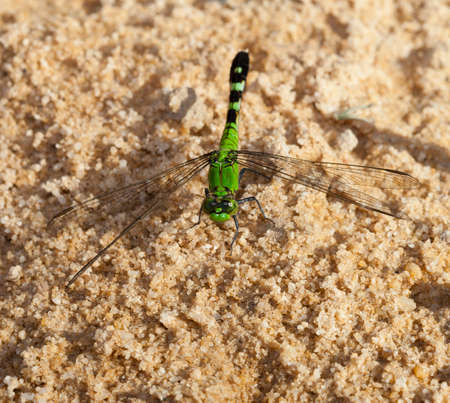 feelers: Green dragonfly on the sand waiting for a meal to fly by Stock Photo
