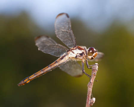 feelers: Dragonfly with white sides on its body on a stick