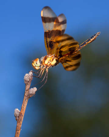 antenna dragonfly: Bright orange dragonfly with eggs resting on a stick
