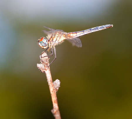 antenna dragonfly: Dragonfly with blue eyes on the top of a stick
