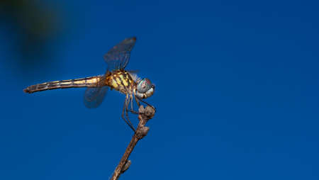 antenna dragonfly: Dragonfly sitting on a dead branch with sky in the background