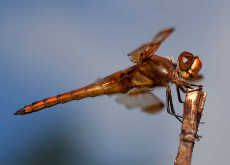 antenna dragonfly: Orange dragonfly seen up close when restingon a dead branch Stock Photo