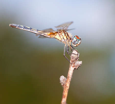 feelers: Blue eyed dragonfly waiting for a meal to fly by Stock Photo