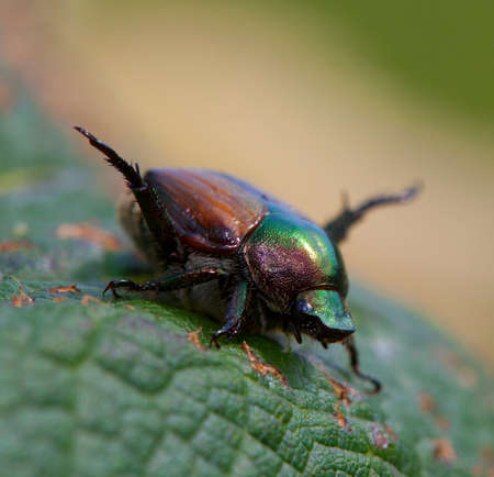 feasting: Japanese beetle that has been feasting on grape leaves Stock Photo