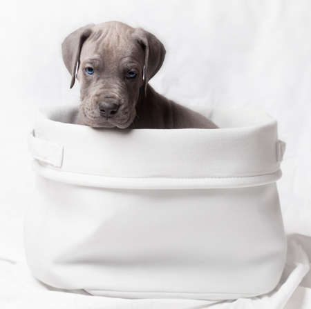 dane: Gray colored purebred Great Dane giving an ugly look from a basket