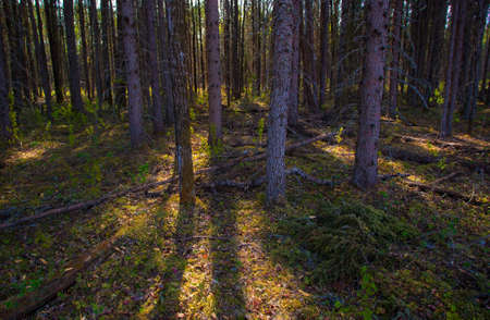 sneaking: Slivers of sunlight sneaking into a forest in Saskatchewan Canada Stock Photo