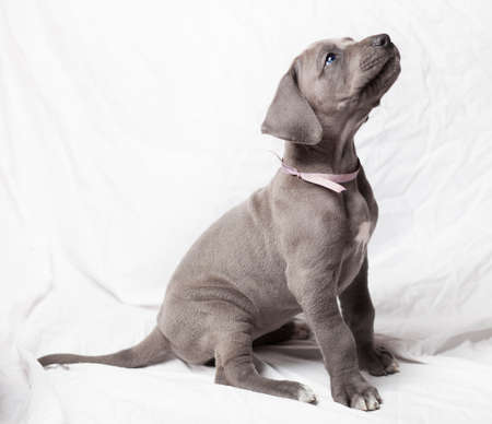 Sitting purebred grey Great Dane puppy on a white background Stock Photo