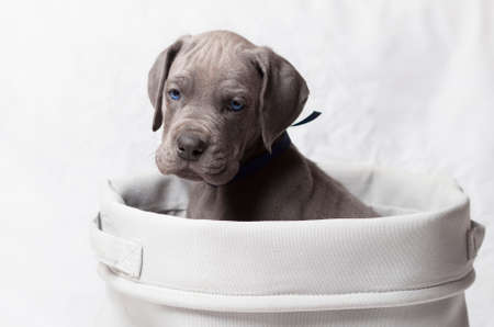 dane: Blue eyed purebred Great Dane puppy in a white basket