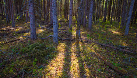 sneaking: Light sneaking through a thick forest in Saskatchewan Canada Stock Photo