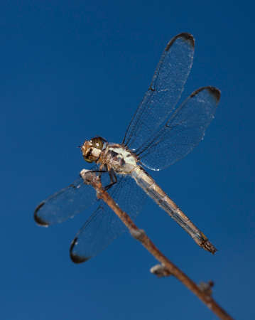 Dragonfly seen from below that is hunting from a stick