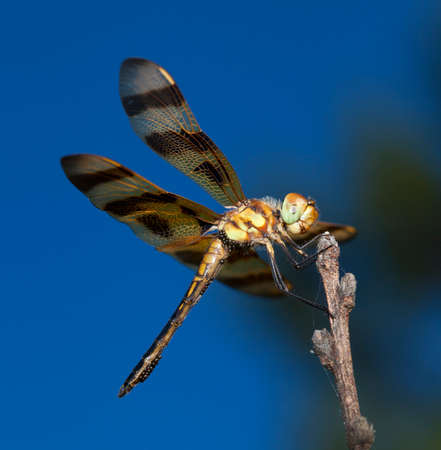 Dragonfly on a stick with lots of eggs and sky behind