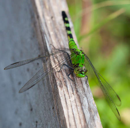 antenna dragonfly: Big green dragonfly on a board watching the camera Stock Photo