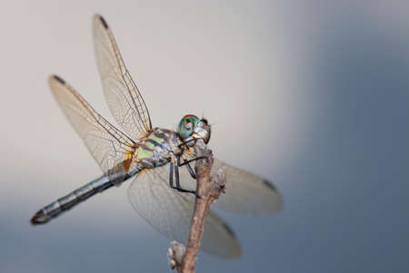 antenna dragonfly: Dragonfly with different colors on its body waiting on a stick with clouds behind Stock Photo