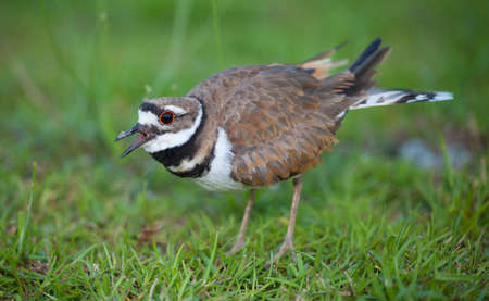 Killdeer issuing a warning that we are too close to the nest in the background