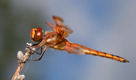antenna dragonfly: Orange dragonfly with its mouth open while on a stick