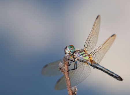 Dragonfly with different colors waiting on a stick with clouds behind